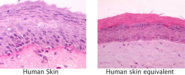 3D human skin equivalent system with co-cultures and vascularized technology, preclinical in vitro CRO