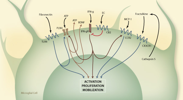 microglial involvement in neuropathic pain   preclinical contract research
