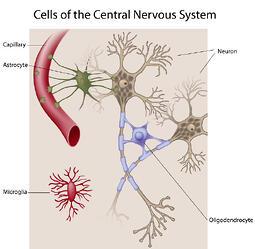 microglia involvement in neuropathic pain