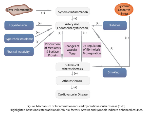 Mechanism of inflammation induced by cardiovascular disease