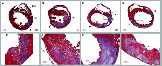 Myocardial Infarct model: preclinical contract research