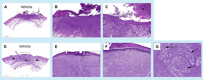 Excisional Wound Model in Pigs Histology Figures H&E.png